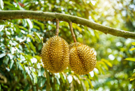 When All Things Considered– Sales of Durian Increased 17x in the First Hour of JD 618